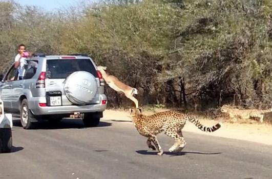 羚羊遇到围追截堵的猎豹,危难之际竟跳上汽车逃跑了