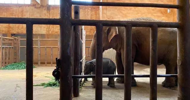 昆明动物园亚洲象喜添小宝宝:生下来就70kg,预计9月和大家见面