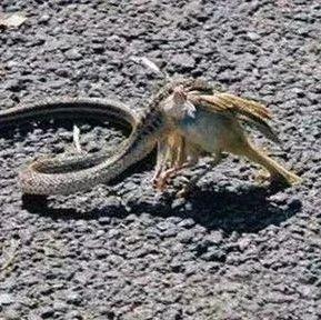 一条蛇把小鸟吃了,母鸟为报仇,看哭了