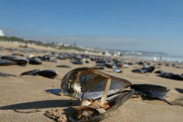 沙滩出现大量贻贝,游客拿麻袋捡拾,村民叫他快扔掉