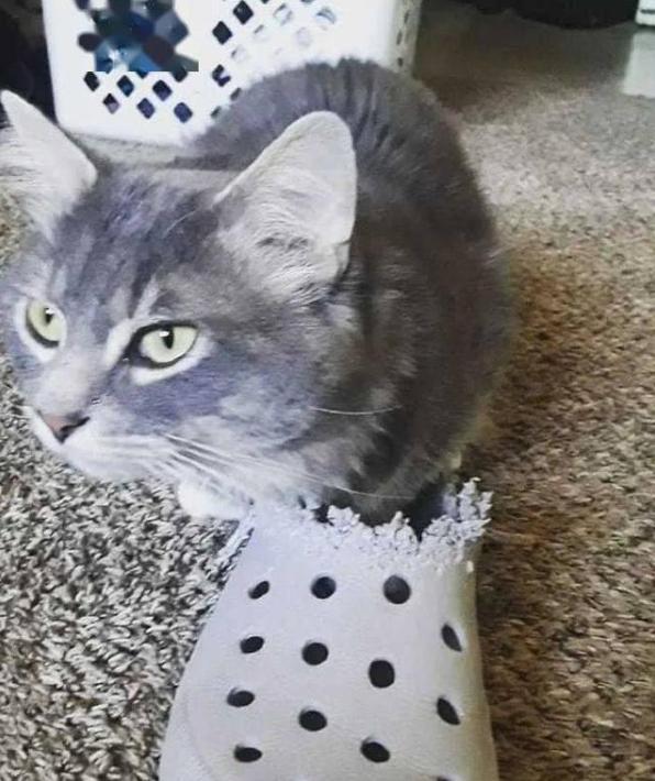 猫咪跟洞洞鞋结仇,咬了好几年都看不出鞋样了,多大仇多大怨呀