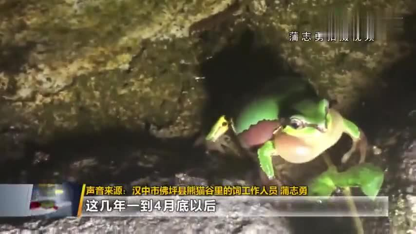 """""""旅行青蛙""""现身秦岭 还有两只在一起难得一见的场面"""