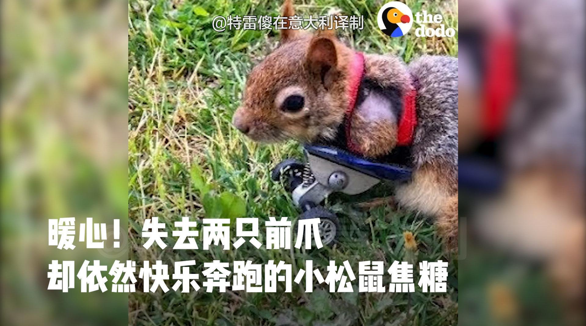 暖心!被建议安乐死失去两只前爪的小松鼠焦糖的故事