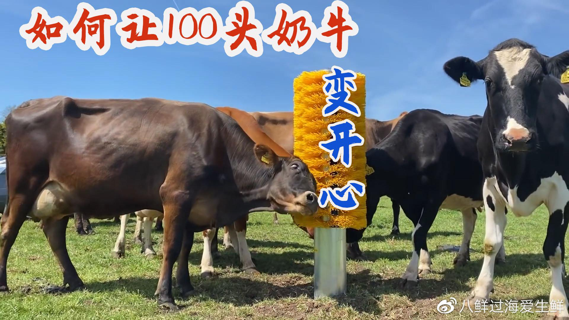 如何让牧场100头母奶牛变开心?英国奶农发明了一套福利工具!