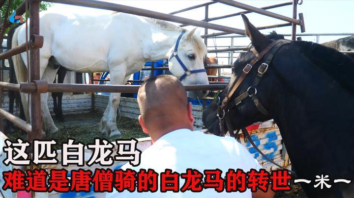 张家口坝上牲畜市场一匹白龙马,全身雪白没杂毛,大哥:值这价钱