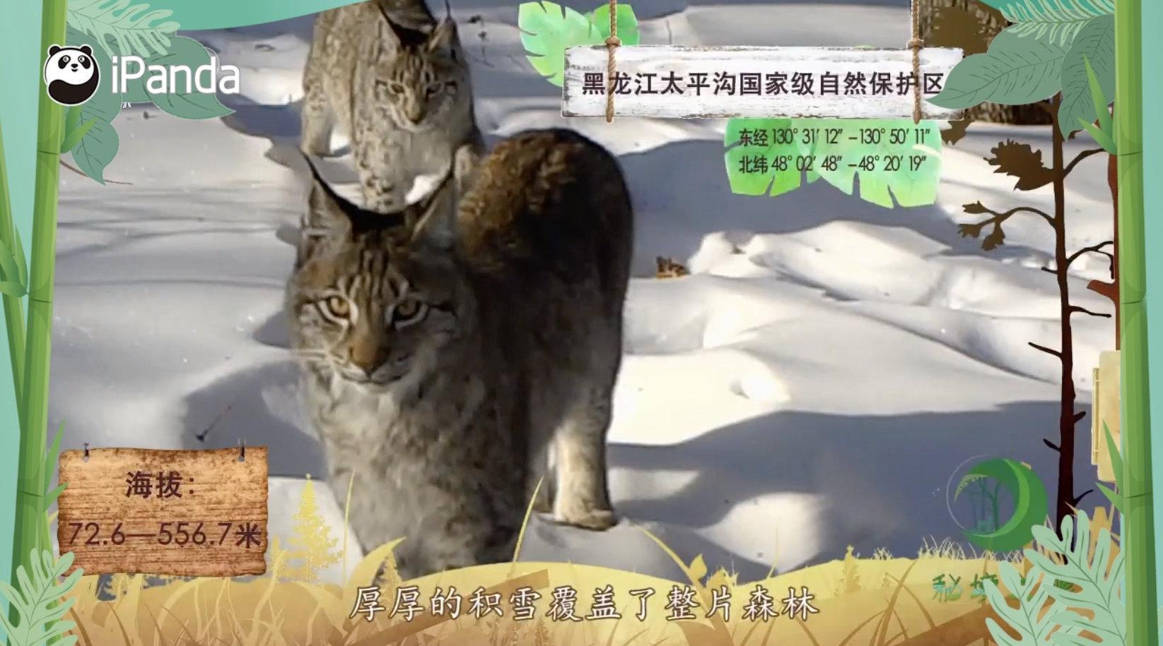 """这种大猫可""""真贵"""" 天生拥有真毛""""雪地靴"""""""