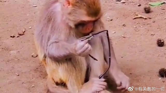 饲养员给了猴哥一副眼镜,正戴反戴都戴不上,真是太搞笑了!