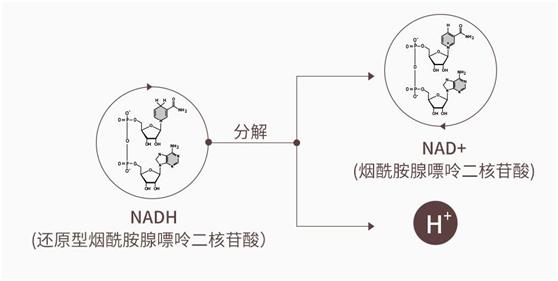 第三代NMN,赛立复线粒体素NADH用Turn A技术提升吸收率