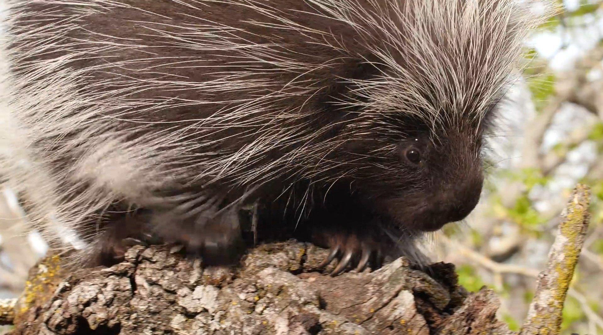 北美豪猪可能很可爱,但它们身上的刺却如剃刀般锋利……