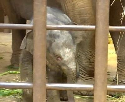 云南圆通山动物园喜添一头小亚洲象,象宝宝是母的叫小公主