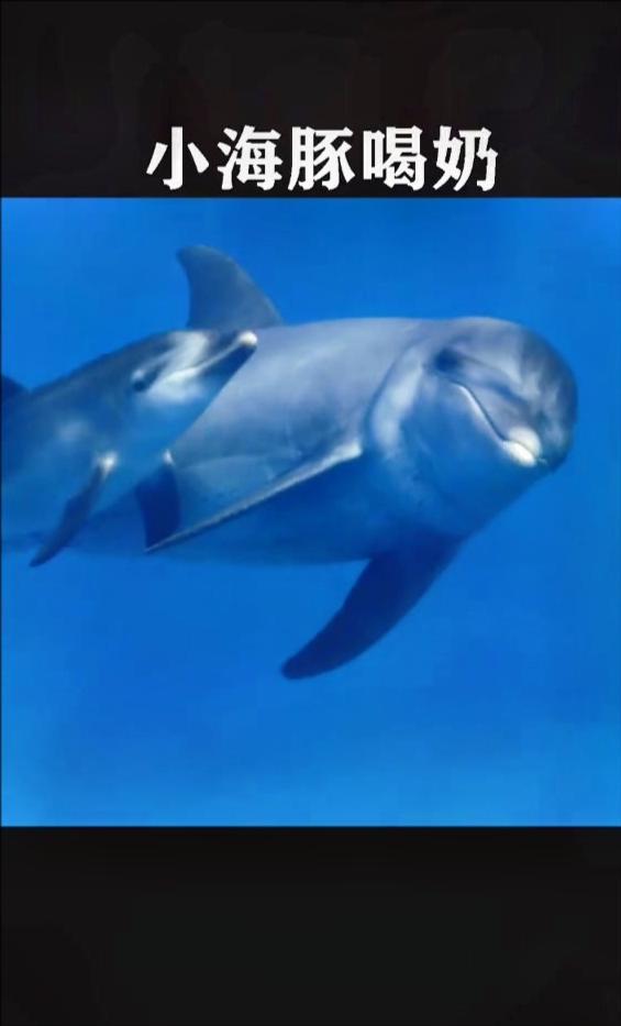 同为哺乳动物,小海豚居然是这么喝奶的