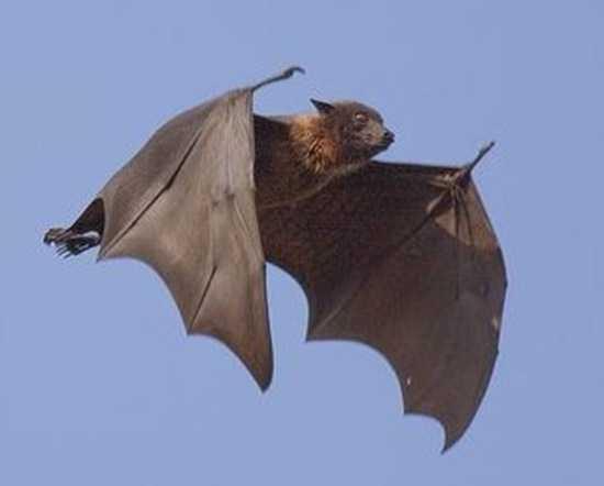 唯一会飞的哺乳动物,还能回声定位,免疫力也强,蝙蝠如何进化的