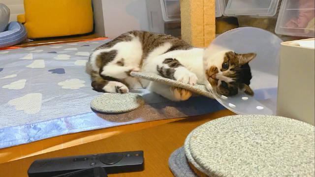 米西偶尔发发猫病特别可可爱爱。今天淘气蹬杯垫碗垫