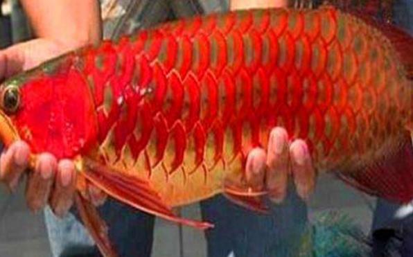 男子深海捕捉奇特红鱼,其价值相当于一辆兰博基尼