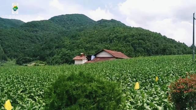 湖北兴山,满眼翠绿的榛子,平均海拔1300米……