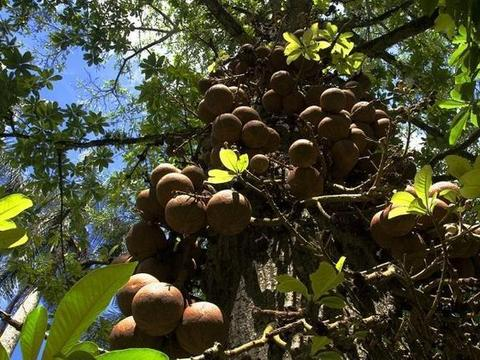委内瑞拉树上挂满铁西瓜,刚摘被当地人阻止捡回一命