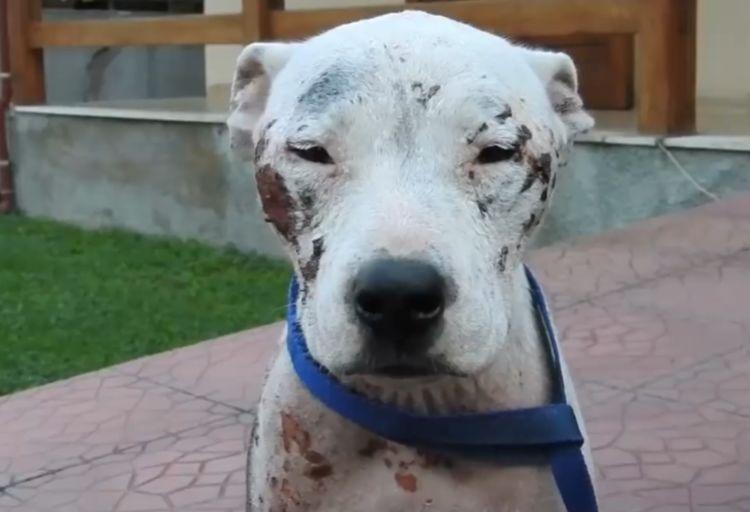 """温顺流浪狗被当成凶犬,满身伤痕却没人搭理,只因它是""""比特犬"""""""