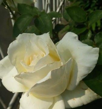 8月份期间,天赐良缘,桃花节节攀升,四大生肖获得爱情!
