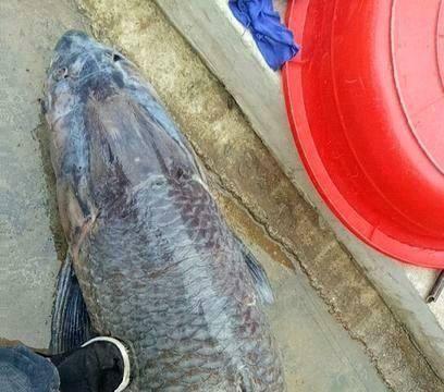 47年, 一条鱼能长多大? 生产队放的鱼, 长成青鱼王