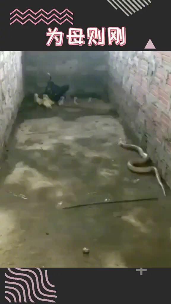 鸡妈妈为了保护孩子们,与偷袭的眼镜蛇展开了殊死搏斗