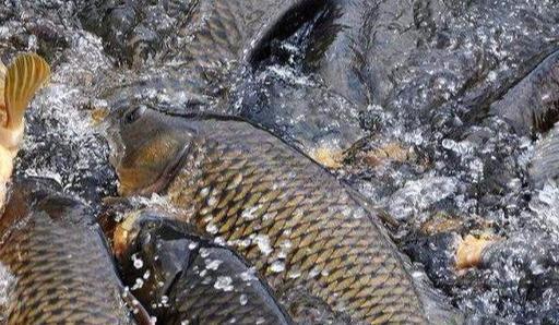 美国亚洲鲤鱼泛滥成灾,当地人养鸭子吃鱼苗,不料出现了意外?