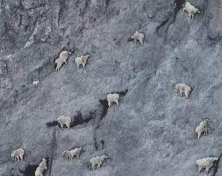 """""""怪羊""""能在悬崖壁行走, 雪豹豺狼拿它没办法, 却逃不过灭绝命运"""