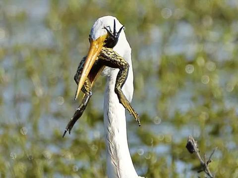 沼泽地中一只白鹭捉到大青蛙,为从白鹭口逃生,大青蛙不断对抗