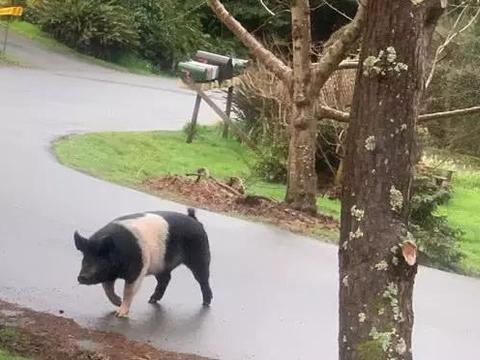 """重达360斤宠物猪""""公主""""丢失,失主来认领时才发现已成猪肉"""