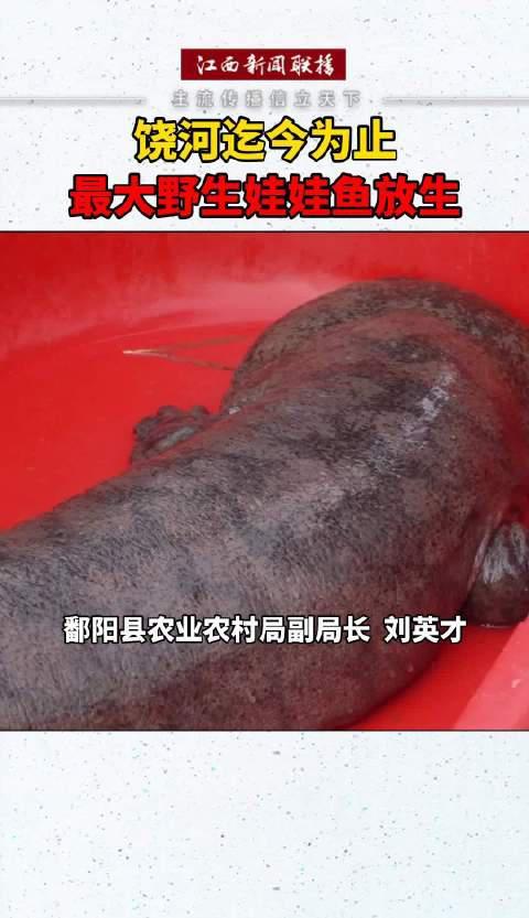 这条娃娃鱼在鄱阳湖饶河水域被发现……
