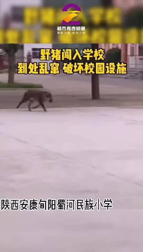 野猪闯入陕西一学校 特警开枪击毙