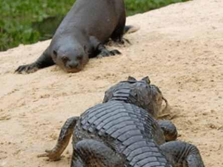 水獭大战鳄鱼由地上到水里, 网友: 要不要上天
