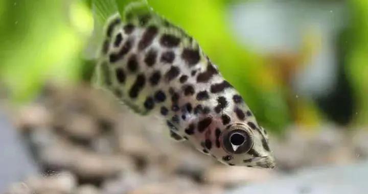 一种不太常见的小型热带鱼,看起来很是娇巧可爱,其实本性凶残