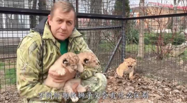在动物园长大的狮子会有什么特点