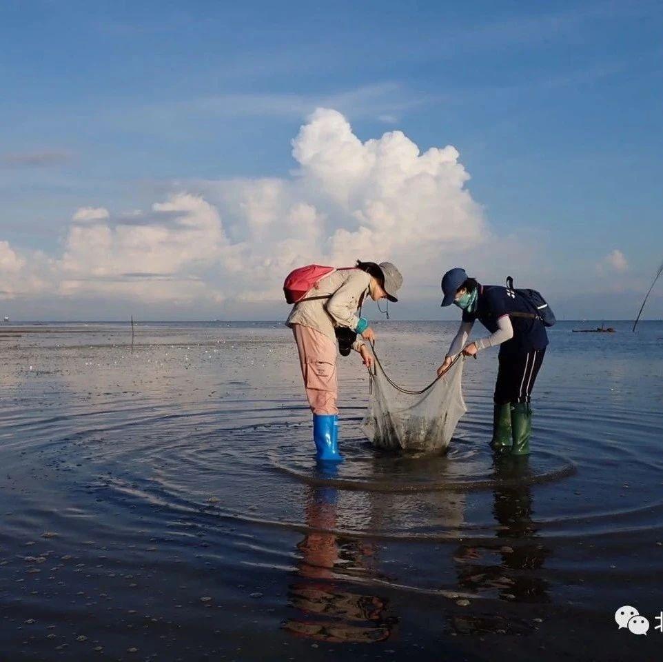 中国鲎数量增加,北海滩涂首次出现活海马!2020年北部湾滨海湿地科考行落下帷幕