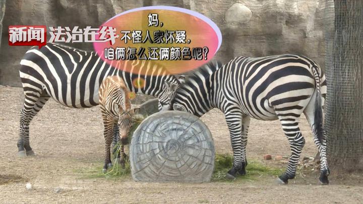 齐市:新生棕色小斑马,在线征集好名字!