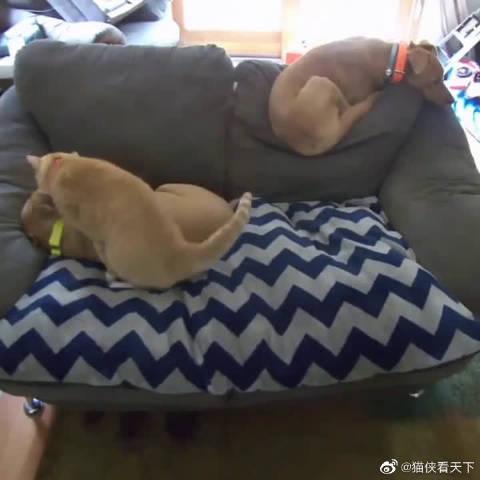 国外网友领养了一只橘猫陪伴家里患有焦虑症的狗狗……