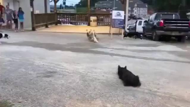 三只边牧向路人展示,牧鸭子绝技,厉害啊!