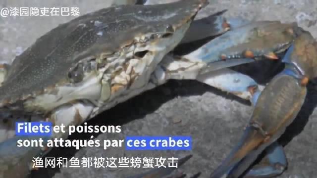 """在,来自北大西洋的蓝蟹""""入侵""""了所有水域……"""