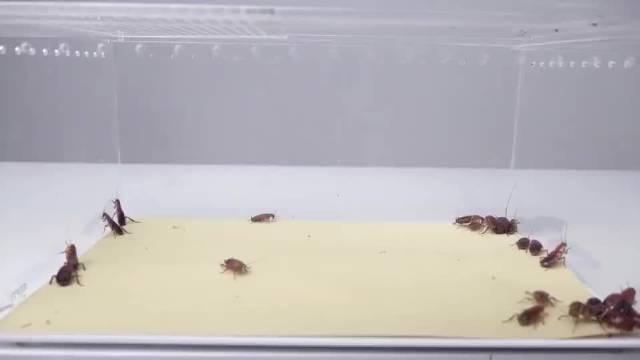 家里蟑螂太多,养一只螳螂就够了,实拍螳螂有多能吃