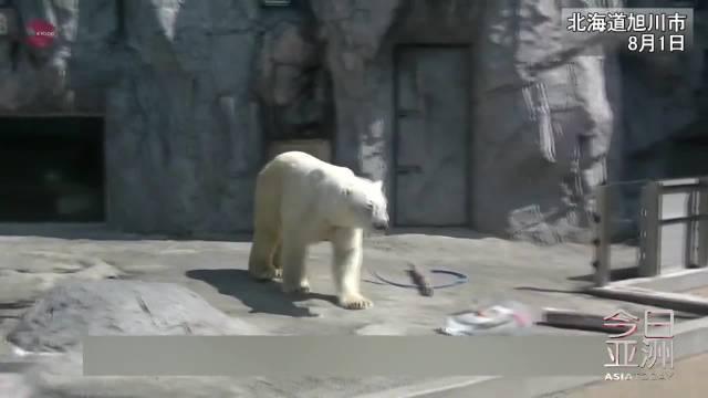超萌!日本动物园北极熊吃冰解暑
