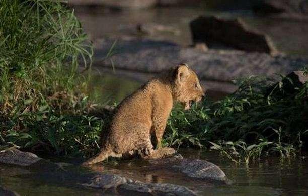 小狮子悻悻的不敢过河, 狮子妈妈知道后做出的举措很是惹人笑