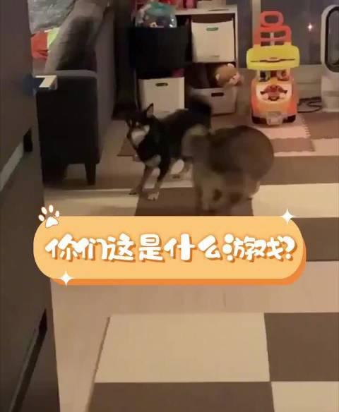 家里狗子们在玩游戏,看了半天也还是没搞懂游戏规则是啥