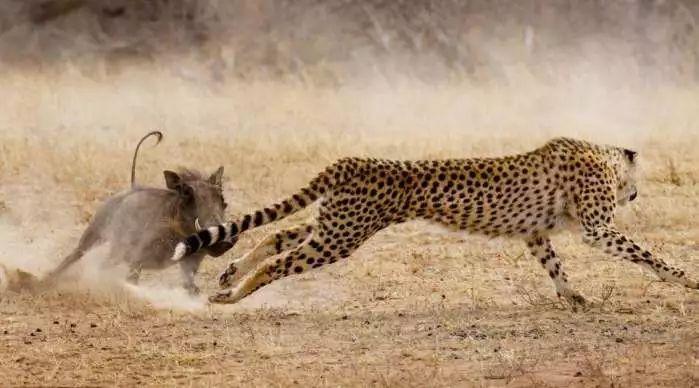 自然界的绝地反击: 狮子被斑马踢掉鼻子, 猎豹反被野猪咬死