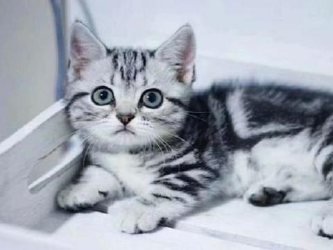 如果在布偶猫和美短猫之间选一个的话,我选择美短