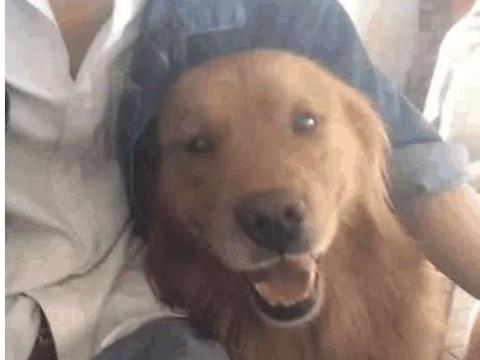 男子领养一条金毛大狗, 四个月过后, 狗的主人不淡定了