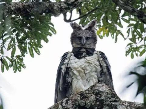说是鸟人也不为过,长着一张人脸的哈比鹰,翅膀展开超2米