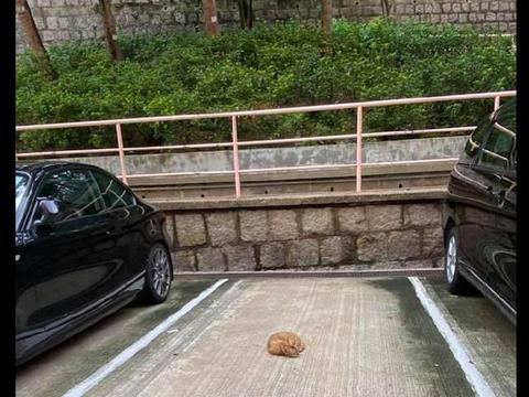 网友好不容易找了个停车位,却发现有只猫趴在那睡觉,不敢赶走呀