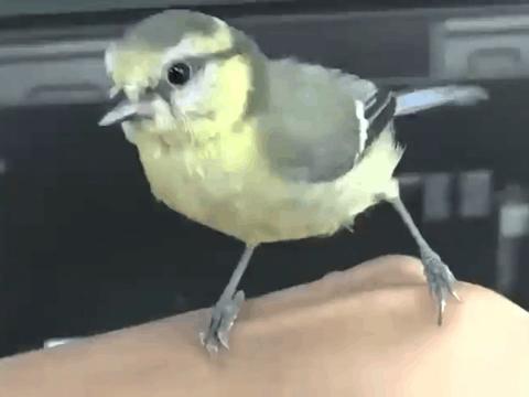 男子下班回家的路上捡回一只雏鸟, 带回养大后竟对他不离不弃