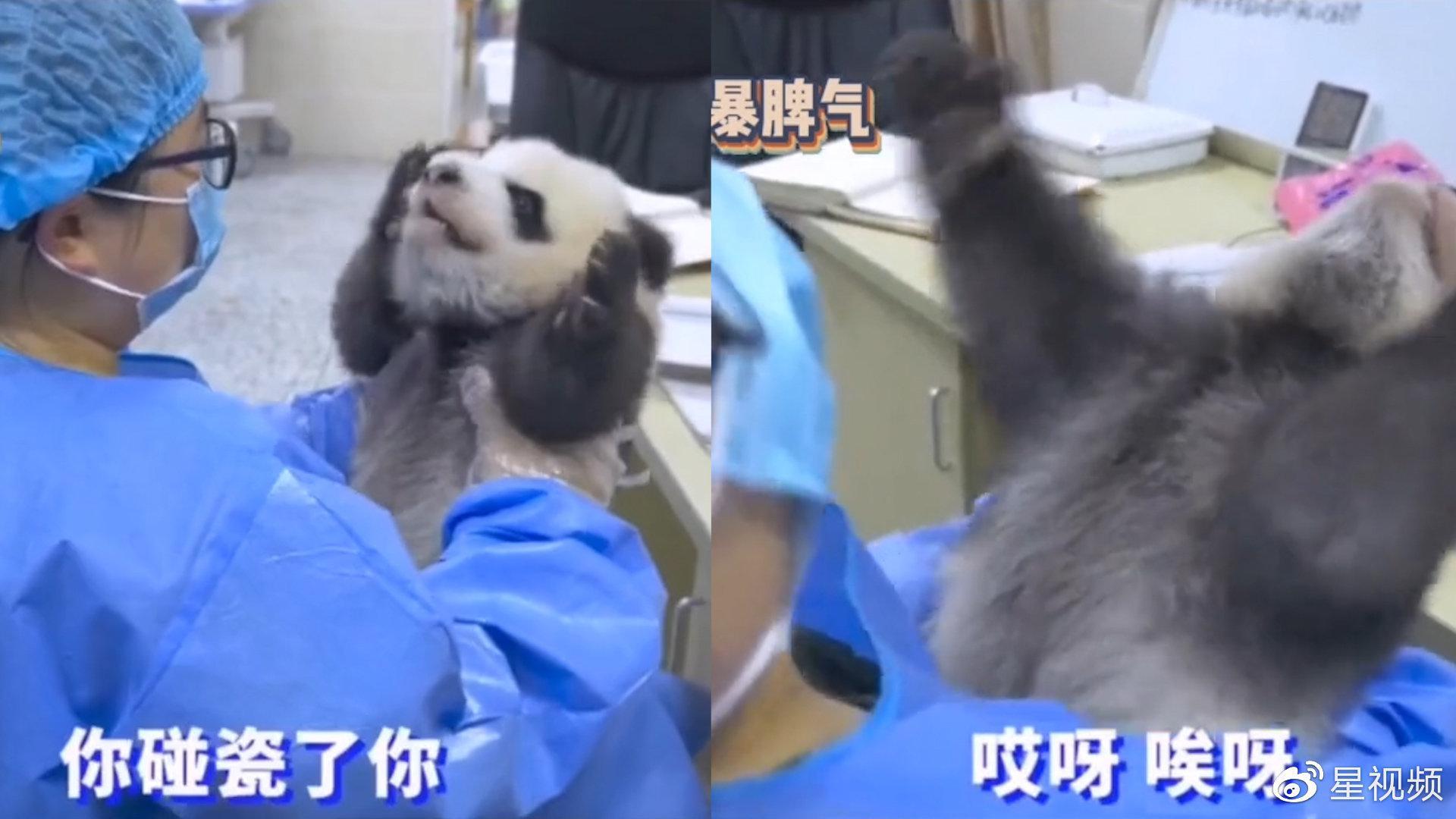 """大熊猫体检不愿排便闹情绪,竟开口跟""""奶妈""""吵架,奶凶吼叫超萌"""