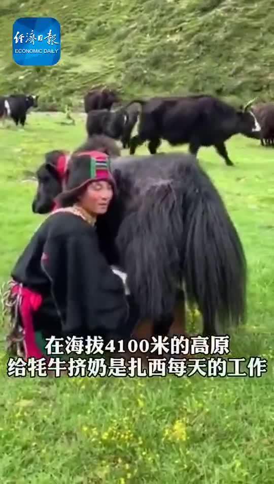 扎西和他的牦牛们 | 这里是西藏